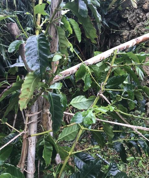 枝が折れているコーヒーの木