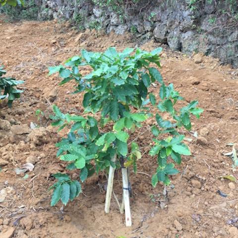 はじめて購入したコーヒーの木の苗