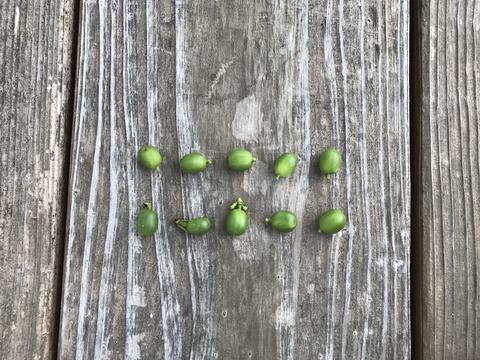 緑色のコーヒーの実