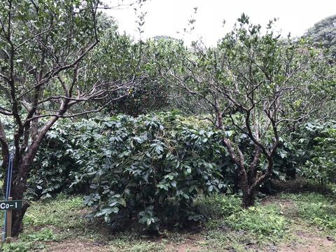 他の生産者さんのコーヒーの木
