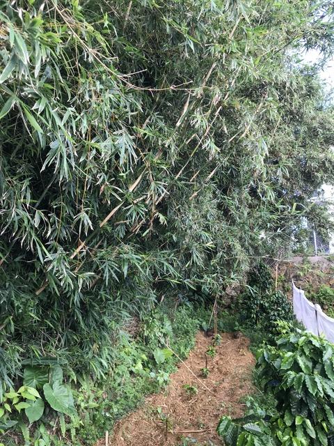 コーヒーの木の苗に覆いかぶさる竹やぶ