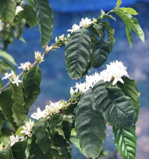沖縄県産コーヒーの木の開花の様子