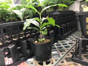 沖縄のホームセンターにあったコーヒーの木